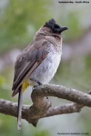 Pycnonotus_b._tricolor008.Sodwana_Bay.RPA.22.02.2017