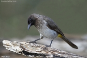 Pycnonotus_b._tricolor006.Mpala_R.C.Kenia.4.12.2014