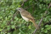 191.119.Pycnonotus luteolus001.Udawalawe.Sri Lanka.28.11.2018