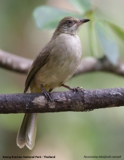Pycnonotus_blanfordi_conradi003.Baan_Song_Nok.Kaeng_Krachan_N.P.Thailand.MJ.13.11.2012