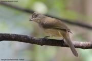 Pycnonotus_blanfordi_conradi002.Baan_Song_Nok.Kaeng_Krachan_N.P.Thailand.MJ.13.11.2012