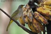 191.122.Pycnonotus_finlaysoni001.Baan_Song_Nok.Kaeng_Krachan_N.P.Thailand.MJ.13.11.2012