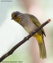 Pycnonotus_finlaysoni002.Baan_Song_Nok.Kaeng_Krachan_N.P.Thailand.MJ.13.11.2012