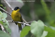 191.130.01.Pycnonotus_melanicterus_melanicterus0001.Sinharaja_Forest_Reserve.Sri_Lanka.26.11.2018