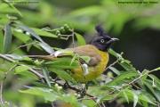 Pycnonotus_melanicterus_flaviventris002.Baan_Song_Nok.Kaeng_Krachan_N.P.Thailand.MJ.13.11.2012