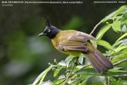 191.130.Pycnonotus_melanicterus_flaviventris001.Baan_Song_Nok.Kaeng_Krachan_N.P.Thailand.MJ.13.11.2012