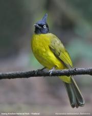 Pycnonotus_melanicterus_flaviventris003.Baan_Song_Nok.Kaeng_Krachan_N.P.Thailand.MJ.13.11.2012