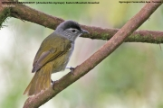191.020.Arizelocichla_nigriceps001.Ngorongoro_Rim.Tanzania.22.03.2013
