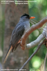 191.083.Hypsipetes_madagascariensis.Ankarafantsika_N.P.Madagaskar.AJ.24.20.2018