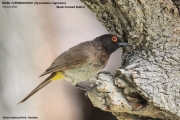 191.114.Pycnonotus_nigricans001.Etosha_N.P.Namibia.21.02.2014