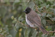 191.116.01.Pycnonotus_barbatus001.Awasa.Etiopia.12.11.2009