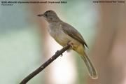 191.120.Pycnonotus_blanfordi_conradi001.Baan_Song_Nok.Kaeng_Krachan_N.P.Thailand.MJ.13.11.2012