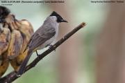 191.112.Pycnonotus_aurigaster001.Baan_Song_Nok.Kaeng_Krachan_N.P.Thailand.MJ.13.11.2012