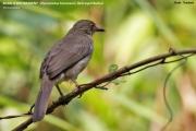 191.123.Pycnonotus_brunneus001.Thailand.6.02.2010