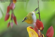 194.046.Zosterops_palpebrosus001.Sinharaja_Forest_Reserve.Sri_Lanka.27.11.2018