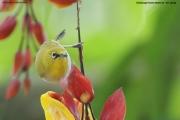 Zosterops_palpebrosus002.Sinharaja_Forest_Reserve.Sri_Lanka.27.11.2018