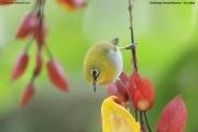 Zosterops_palpebrosus003.Sinharaja_Forest_Reserve.Sri_Lanka.27.11.2018