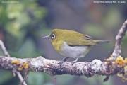 Zosterops_ceylonensis002.Horton_plains.Sri_Lanka.5.12.2018