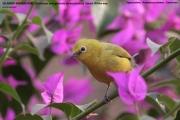 194.056.02.Zosterops-senegalensis-stenocricotus001.Ngaoundaba.Kamerun.14.02.2012