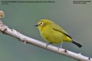 194.056.03.Zosterops-senegalensis-stuhlmanni001.Buhoma.Bwindi-N.P.PJ_.27.02.2011