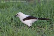 196.037.Turdoides_bicolor001.Erindi.Namibia.17.02.2014