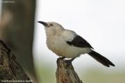 Turdoides_bicolor003.Erindi.Namibia.17.02.2014