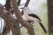 Turdoides_bicolor006.Erindi.Namibia.17.02.2014