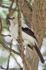 Turdoides_bicolor008.Erindi.Namibia.17.02.2014