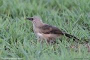Turdoides_bicolor009.Juv.Erindi.Namibia.17.02.2014