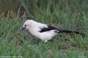 Turdoides_bicolor002.Erindi.Namibia.17.02.2014