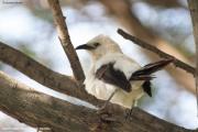 Turdoides_bicolor004.Erindi.Namibia.17.02.2014