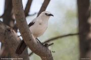 Turdoides_bicolor007.Erindi.Namibia.17.02.2014