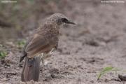 Turdoides_hartlaubii002.Drotsky_Camp.Okavango.Botswana.26.02.2014