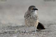 Turdoides_jardineii002.Tarangire_N.P.Tanzania.25.03.2013
