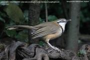 196.052.Garrulax monileger001.Baan Song Nok.Kaeng Krachan N.P.Thailand.MJ.13.11.2012