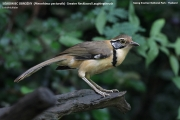 196.084.Pterorhinus_pectoralis001.Baan_Song_Nok.Kaeng_Krachan_N.P.Thailand.MJ.13.11.2012