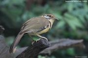 Pterorhinus_pectoralis003.Baan_Song_Nok.Kaeng_Krachan_N.P.Thailand.MJ.13.11.2012