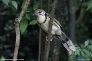 Pterorhinus_pectoralis004.Baan_Song_Nok.Kaeng_Krachan_N.P.Thailand.MJ.13.11.2012