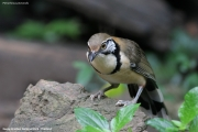 Pterorhinus_pectoralis005.Baan_Song_Nok.Kaeng_Krachan_N.P.Thailand.MJ.13.11.2012
