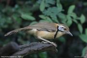 Pterorhinus_pectoralis002.Baan_Song_Nok.Kaeng_Krachan_N.P.Thailand.MJ.13.11.2012