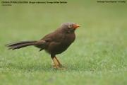 198.010.Argya_rufescens001.Sinharaja_Forest_Reserve.Sri_Lanka.27.11.2018