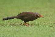 Argya_rufescens002.Sinharaja_Forest_Reserve.Sri_Lanka.27.11.2018