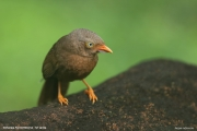 Argya_rufescens007.Sinharaja_Forest_Reserve.Sri_Lanka.27.11.2018