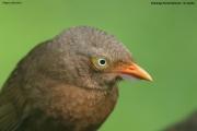 Argya_rufescens008.Sinharaja_Forest_Reserve.Sri_Lanka.27.11.2018