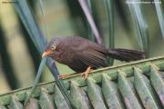 Argya_rufescens011.Sinharaja_Forest_Reserve.Sri_Lanka.27.11.2018