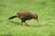 Argya_rufescens003.Sinharaja_Forest_Reserve.Sri_Lanka.27.11.2018