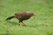 Argya_rufescens004.Sinharaja_Forest_Reserve.Sri_Lanka.27.11.2018