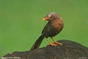 Argya_rufescens010.Sinharaja_Forest_Reserve.Sri_Lanka.27.11.2018