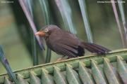 Argya_rufescens012.Sinharaja_Forest_Reserve.Sri_Lanka.27.11.2018