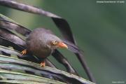 Argya_rufescens013.Sinharaja_Forest_Reserve.Sri_Lanka.27.11.2018